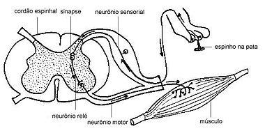 380px-Anatomia_e_fisiologia_do_Arco_Reflexo_animal.jpg